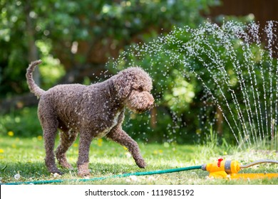 Brown dog is playing with a water sprinkler outdoors on a hot summer day. The dog is cooling itself.