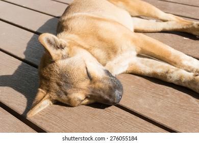 brown dog sleep on wooden floor
