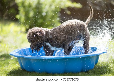 Brown dog is splashing the water on a children pool outdoors. The weather is hot for a dog and it is cooling on a cold water pool.