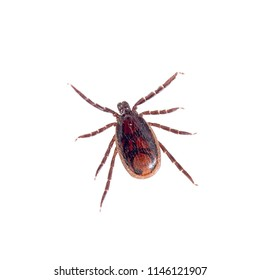 Brown dog tick, Rhipicephalus sanguineus isolated on white background. Dog risk for many conditions including babesiosis, ehrlichiosis, rickettsiosis, and hepatozoonosis.