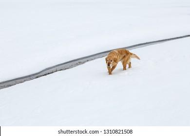 Brown dog walking on the snow in the Las Verdes glacier lagoon, Torre de Babia, Leon, Spain.