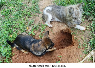Brown dogs digging hole on dirt land, Dog resting at outdoors, Natural behavior of the pet with predatory instincts
