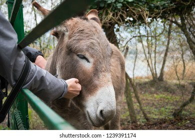 Brown domestic donkey being caressed on the head by a young woman in a farm.