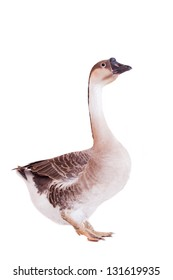 Brown domestic goose isolated on a white background