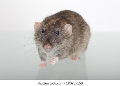 brown domestic rat on a glass table