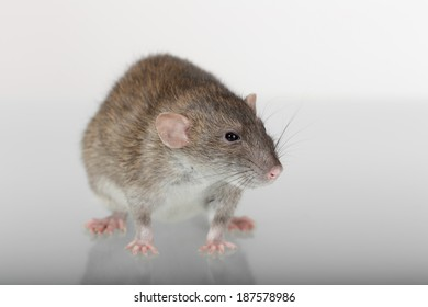 brown domestic rat and its reflection on the glass