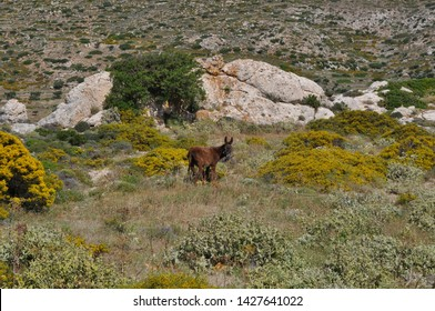 Brown donkey on a picturesque wildflower meadow in front of the mountains of the greek island Karpathos in June
