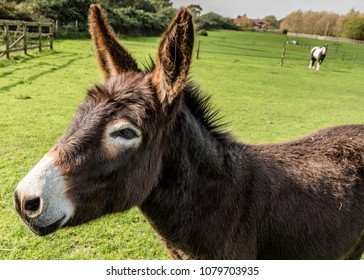 Brown donkey in paddock with horse in distant background