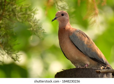 brown dove with green background on tree stump