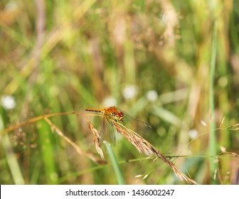 Brown dragonfly (Aeschna grandis) sitting on a grass, close-up, selective focus