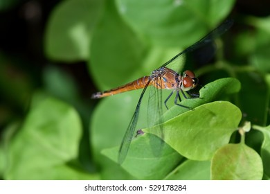 Brown Dragonfly  with black patterned on its body,The dragonfly resting on a leaf with natural green leaves in the background