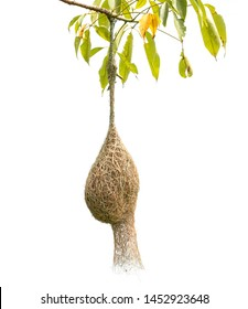 Brown dry grass bird nest of Weaver bird hang on the tree isolated on white background