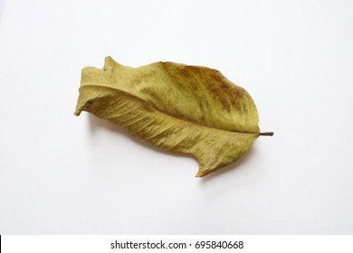 brown dry leaf on the white background