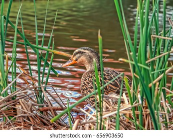 Brown duck hiding behind grass in park of Baytown Texas