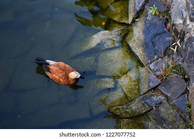 Brown duck is swimming in the lake close to stone shore.