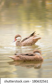 brown duck swimming in water