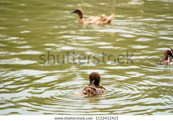 Brown Ducks cleaning itself in public canal , Duck local farming in Thailand