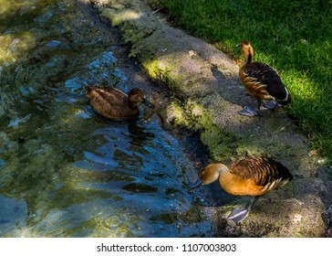 Brown Ducks. Three fulvous whistling ducks playing and drinking in the stream. Taken in Brookgreen Gardens, South Carolina