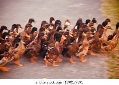 Brown ducks walking on a street isolated unique blurry photo