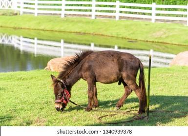 brown dwarf horse in the field