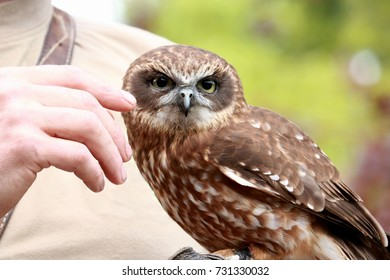 brown dwarf owl