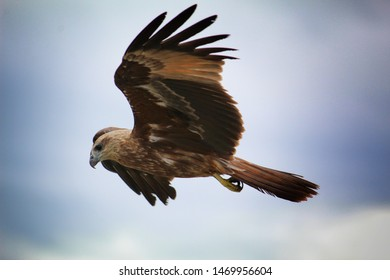 Brown eagle flying with wings full open ready for hunting