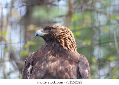 A brown Eagle perching on a tree