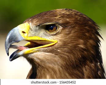 Brown eagle portrait