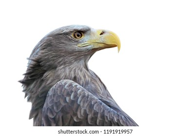 Brown eagle portrait front of white background