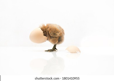 brown egg and chicken isolated on a white background,Small chicks and egg shells.