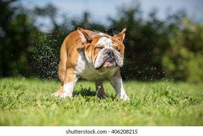 Brown English Bulldog shaking off water