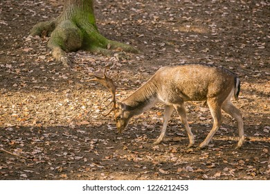 Brown european fallow deer buck with antlers, Dama dama, walking in a game park looking for food, long shadows, a tree and dry leaves on ground, sunny fall day