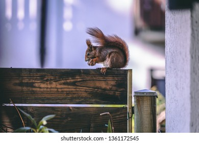A brown european squirrel eating a walnut sitting on a wooden sight protection wall