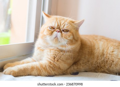 Brown Exotic shorthair cat, focusing in the foreground