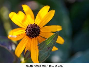 Brown eyed yellow flowered susan