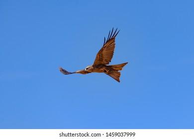 Brown Falcon in flight, Australia.