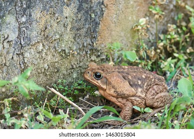 Brown fat cane toad frog close up view