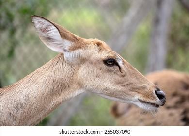 Brown female antelope head close up