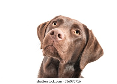 brown female labrador retriever