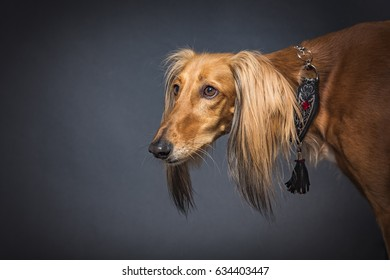 Brown female persian hound - saluki, studio portrait