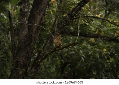 Brown fish owl (Ketupa zeylonensis) roosting in its habitat in the forest of Kabini. Background  made  blur using photoshop.