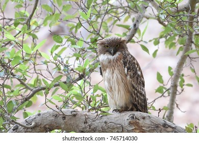 Brown Fish Owl resting on tree perch in Ranthambore national park