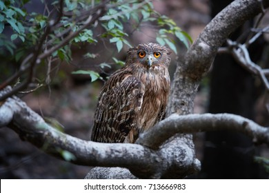 Brown Fish-owl, Ketupa zeylonensis,  big owl in its typical natural environment, perched on branch in indian forest in early morning, staring directly at camera. Wild animal. Ranthambore, India.