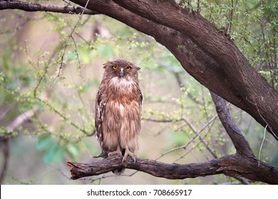 Brown Fish-owl, Ketupa zeylonensis, close-up beautiful big owl in its typical natural environment, perched on branch in indian forest, staring directly at camera. Wild animal. Ranthambore, India.