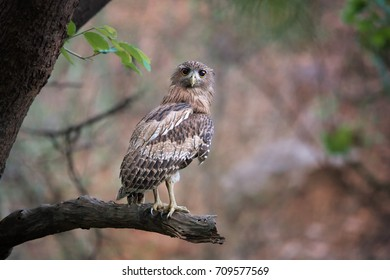 Brown Fish-owl, Ketupa zeylonensis, curious big owl in its typical natural environment, perched on branch in indian forest in early morning, staring directly at camera. Wild animal.Ranthambore, India.
