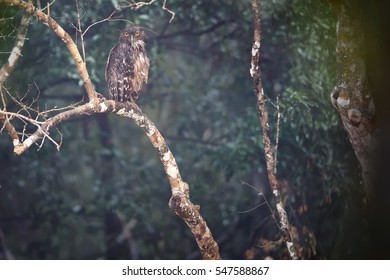 Brown Fish-owl, Ketupa zeylonensis perched on brach in its typical environment near to small pond, Wilpattu national park, Sri Lanka.  Wild owl photography. Owl in tropical rain.