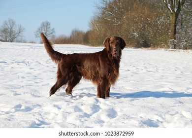 brown flat coated retriever is standing on a field full of snow