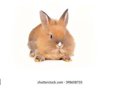 brown  fluffy rabbit sits isolated