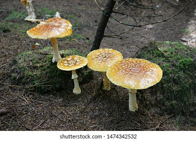 Brown Fly Agaric or King Fly Agaric (Amanita muscaria subsp. regalis) growing on a forest during autumn