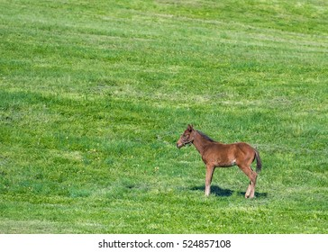 Brown Foal Stands in Green Field with copy space